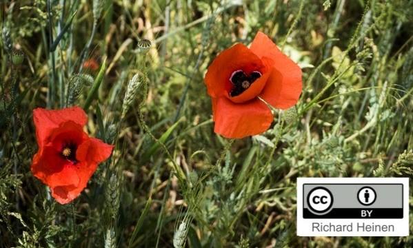 Das Bild zeigt eine Wiese mit zwei Mohnblumen in Nahaufnahme und einem kleinen Kasten rechts unten im Bild, auf dem die CC-Lizenz abgebildet ist.