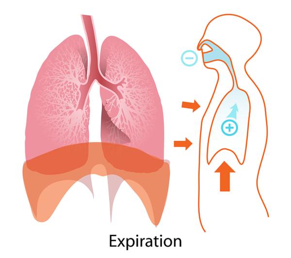 Das Bild zeigt die bei der Ausatmung aktive Muskulatur, insbesondere das Zwergfell.