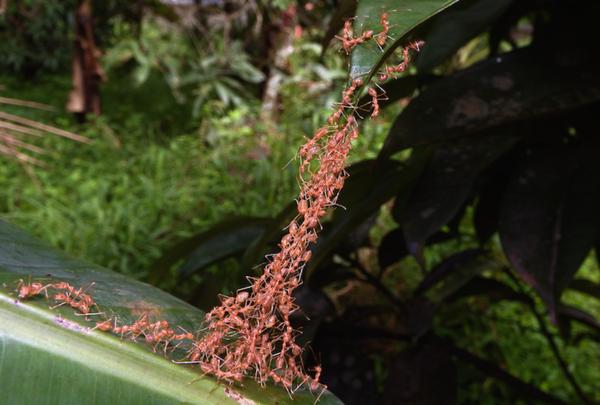 Ameisen bauen eine Brücke zwischen zwei Pflanzen